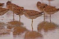 Short-Billed Dowitchers  04220