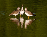 Yellowlegs Trio 1061908b